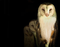 Masked Owl Royalty Free Stock Photography