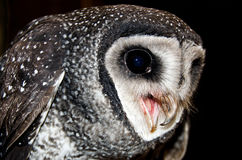 Masked Owl , Australian Wildlife. Beautiful Masked Owl , Australian Wildlife Royalty Free Stock Photos