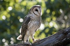 A masked owl. The masked owl is perched in a large tree. Many farms have nesting boxes for owls to keep down the mice problem stock images