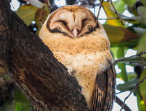 Masked Owl, Tyto novaehollandiae. In tree in Macquarie St, out side the Tasmanian Museum and Art Gallery Stock Image