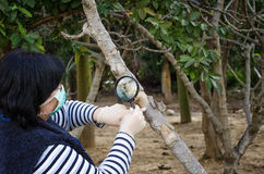 Masked phytologist checking trunk of fig tree Stock Images