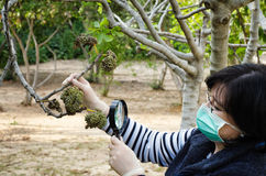 Masked phytologist looking at fig leaves Stock Image