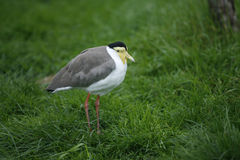 Masked plover or lapwing, Vanellus miles Stock Photo
