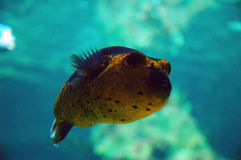 Masked Puffer. (Arothron sp.), Genoa aquarium, Italy Royalty Free Stock Photos