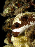 Masked puffer Stock Image