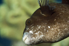 Masked puffer (arothron diadematus) Royalty Free Stock Images