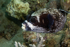 Masked puffer (arothron diadematus) in the Red sea. Stock Photos