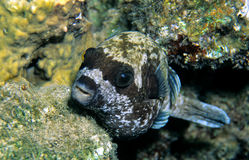 Masked Puffer Stock Photography
