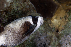 Masked puffer in de Red Sea. Royalty Free Stock Photography