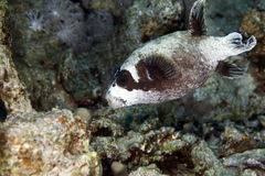 Masked puffer in de Red Sea. Royalty Free Stock Photo