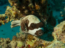 Masked puffer fish arothron diadematus resting on  Stock Photo