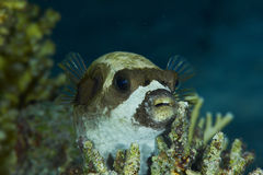 Masked puffer at night Royalty Free Stock Photos