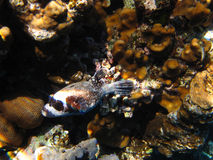 Masked puffer in the Red Sea Royalty Free Stock Photos