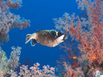 Masked puffer Stock Images