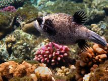 Masked puffer on the reef in the Red Sea Royalty Free Stock Image