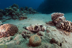 Masked puffer and tropical reef in the Red Sea. Royalty Free Stock Image