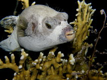 Masked Pufferfish at night - Red sea Stock Image