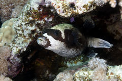 Masked pufferfish in the Red sea. Stock Photography