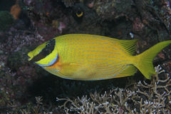 Masked rabbitfish Stock Photos