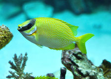 Masked Rabbitfish - Siganus puellus Royalty Free Stock Image
