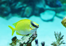 Masked Rabbitfish - Siganus puellus Royalty Free Stock Photo