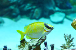 Masked Rabbitfish - Siganus puellus Stock Images