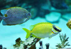 Masked Rabbitfish - Siganus puellus and golden rabbitfish Stock Photos