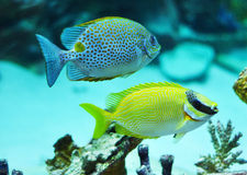 Masked Rabbitfish - Siganus puellus and golden rabbitfish Stock Image