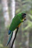 Masked shining parrot Royalty Free Stock Image