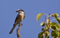 Masked Shrike (Lanius nubicus) Stock Photo