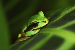 Masked Smilisca, Smilisca phaeota, exotic tropic green frog from Costa Rica, close-up portrait Royalty Free Stock Photos