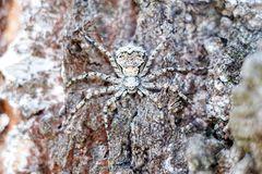 A masked spider in close-up hides like a spy on the bark of a tree stock images
