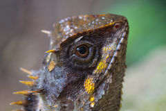 Masked spiny lizard closeup Royalty Free Stock Images