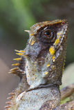 Masked spiny lizard closeup Royalty Free Stock Photography