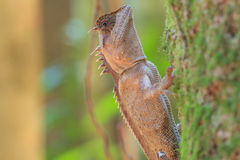 Masked spiny lizard on tree Royalty Free Stock Images