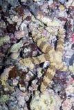 Masked starfish,  Bali,Nusa Penida, Indonesia Stock Images