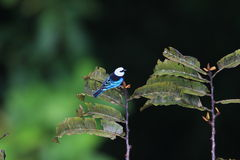 Masked Tanager Stock Images
