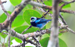 Masked Tanager Stock Photos