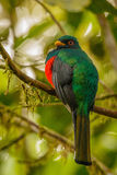 The masked Tragoon in cloudforest in Ecuador. The masked Tragoon bird, in cloudforest in Ecuador stock photo