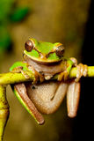 Masked tree frog Royalty Free Stock Photos
