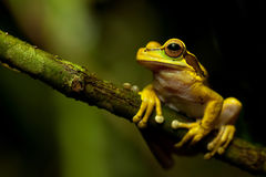 Masked tree frog Stock Photo