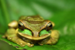 Masked tree frog Royalty Free Stock Photo