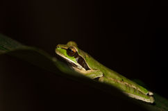 Masked tree frog Royalty Free Stock Photography