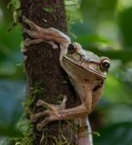 Masked Tree frog royalty free stock images