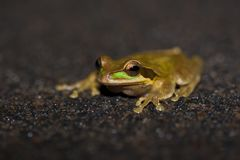Masked Tree Frog, Costa Rica Royalty Free Stock Photos
