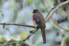Masked Trogon Trogon Personatus Stock Photography