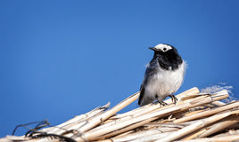 Masked wagtail bird Royalty Free Stock Photos