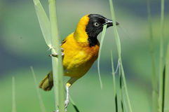 Masked weaver. At Kruger National Park, South Africa Stock Photography