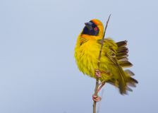Masked Weaver Stock Photo
