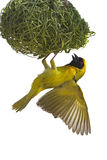 Masked weaver. Hanging from nest against a white background; Ploceus velatus; South Africa royalty free stock photos
